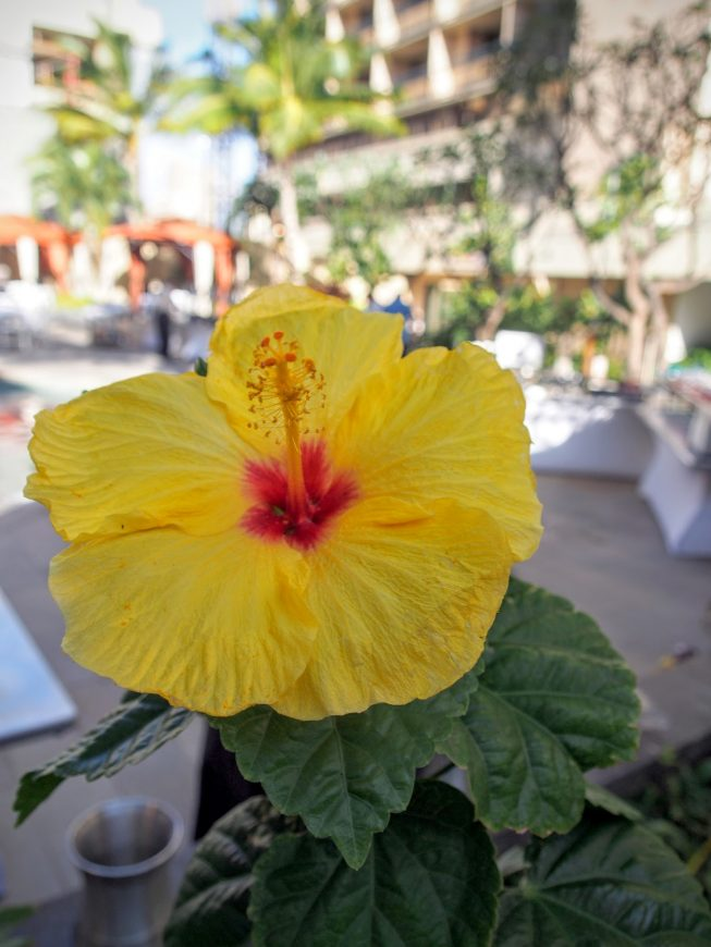 yellow hibiscus by notagrouch.com